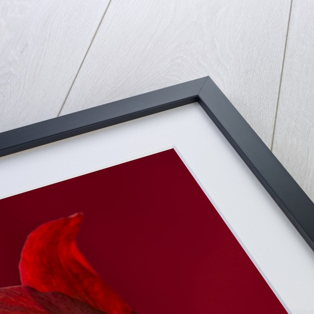 Close Up Of The Red Flower Of Amaryllis Black Pearl by Clive Nichols