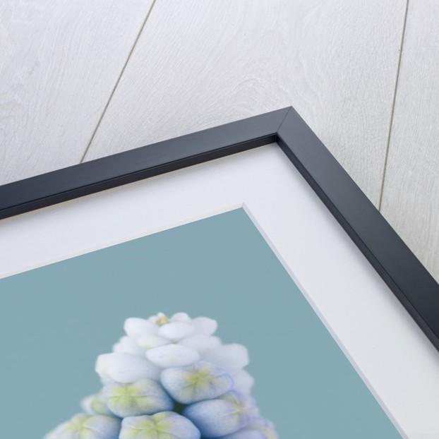 Close Up Of Blue Flower Of Muscari Aucheri 'ocean Magic' - Bulb, Spring, Pale Blue by Clive Nichols