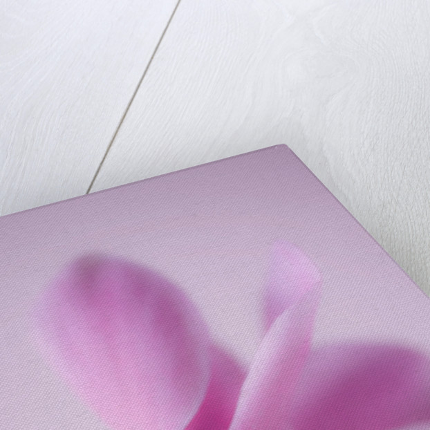 Close Up Of The Pink Flower Of A Cyclamen Against A Pink Backdrop by Clive Nichols