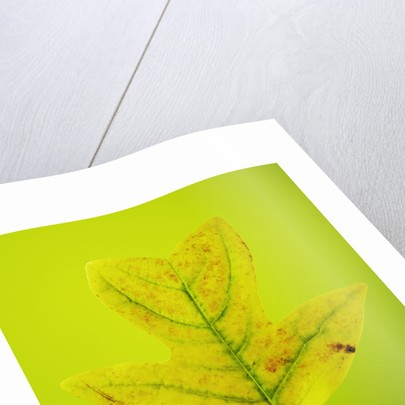 Close Up Of Autumn Leaf On Lime Green Background by Clive Nichols