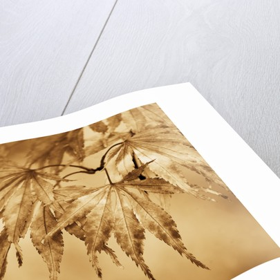 Sepia Toned Image Of Acer Leaves In Autumn by Clive Nichols