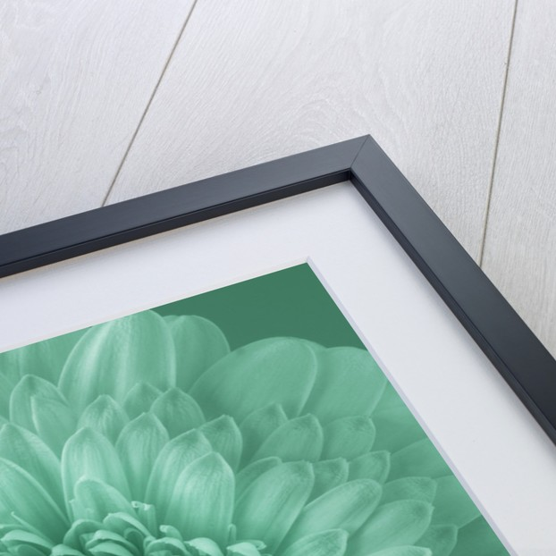 Teal Toned Close Up Of Dahlia by Clive Nichols