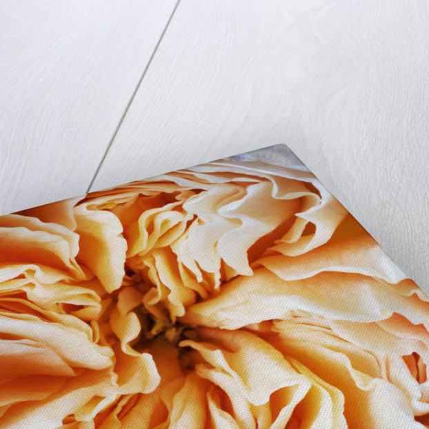 Close Up Of The Creamy Apricot Flower Of The David Austin Rose Rose Juliet -  English Cut Rose (ausjameson) by Clive Nichols