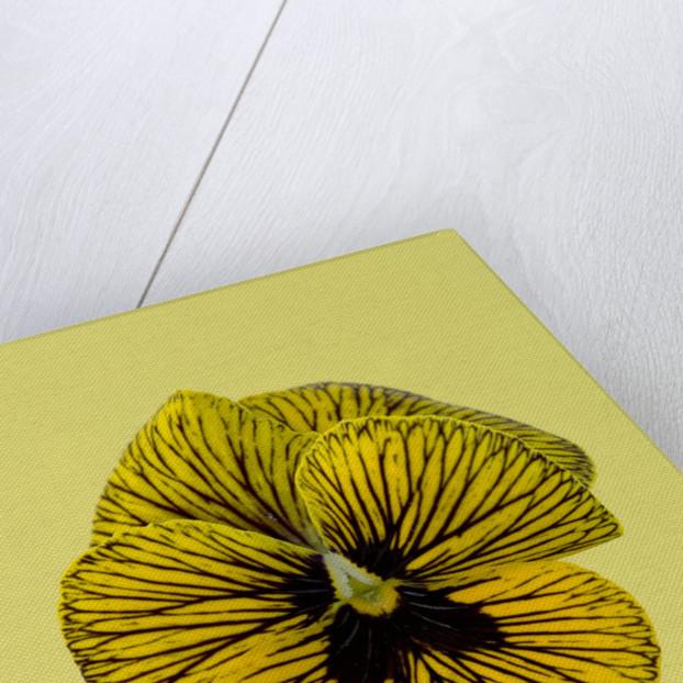 Close Up Of Viola 'tiger Eyes' by Clive Nichols