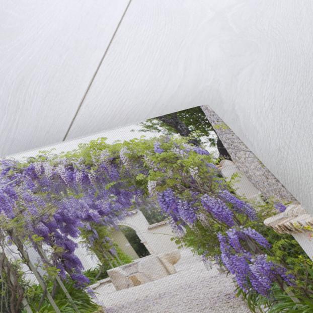 The Rou Estate, Corfu, Greece: Wisteria On The Main Avenue. Climber, Blue Flower by Clive Nichols