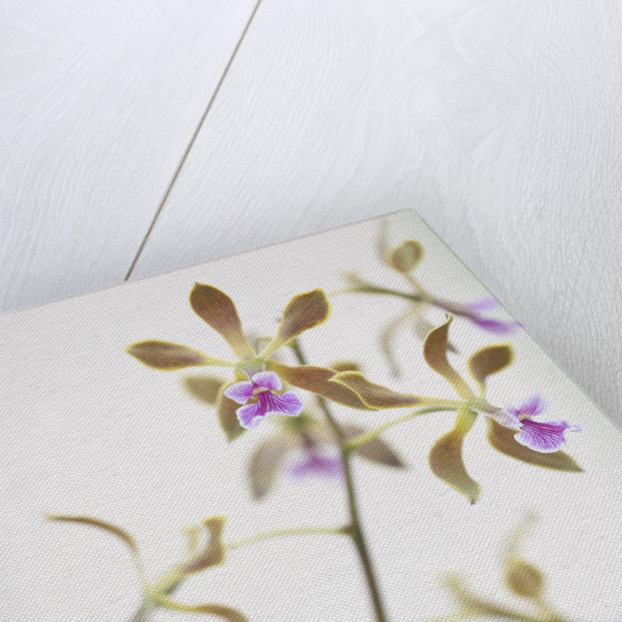 Close Up Of The Flowers Of Encyclia Magdalenae - Orchid by Clive Nichols