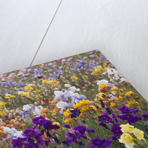 Iris Cayeux, France - Iris Fields by Clive Nichols