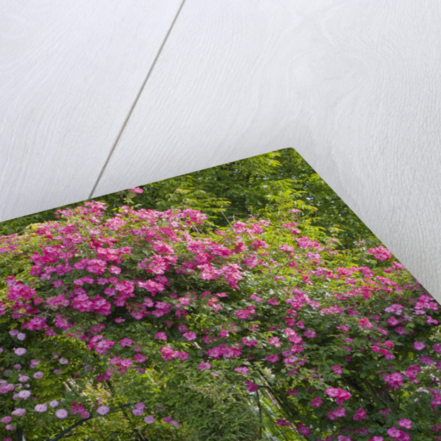 Andre Eve Rose Nursery, France: Pergola With Roses - Rosa 'pink Cloud',  Rosa 'roville' And In Front Rosa 'belle Au Bois Dormant' by Clive Nichols