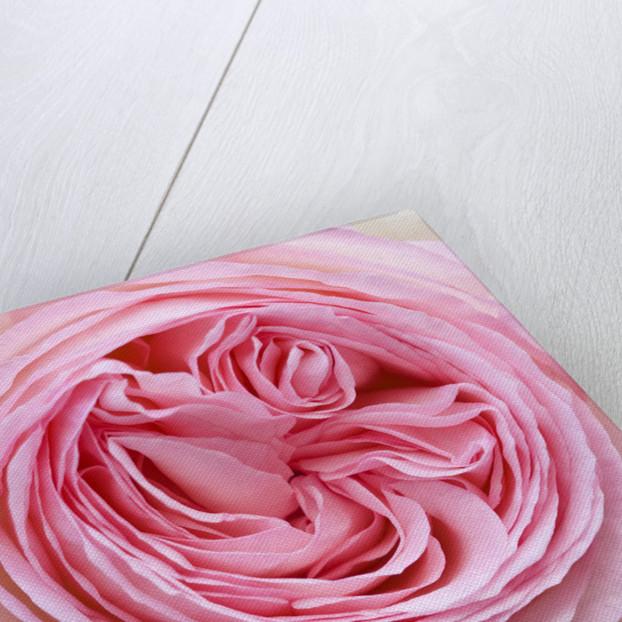 Prieure Notre-dame D'orsan, France: Close Up Of Pink Rose, Rosa 'pierre De Ronsard' by Clive Nichols