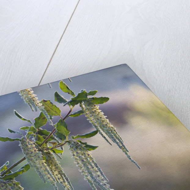 Close Up Of Garrya Elliptica by Clive Nichols