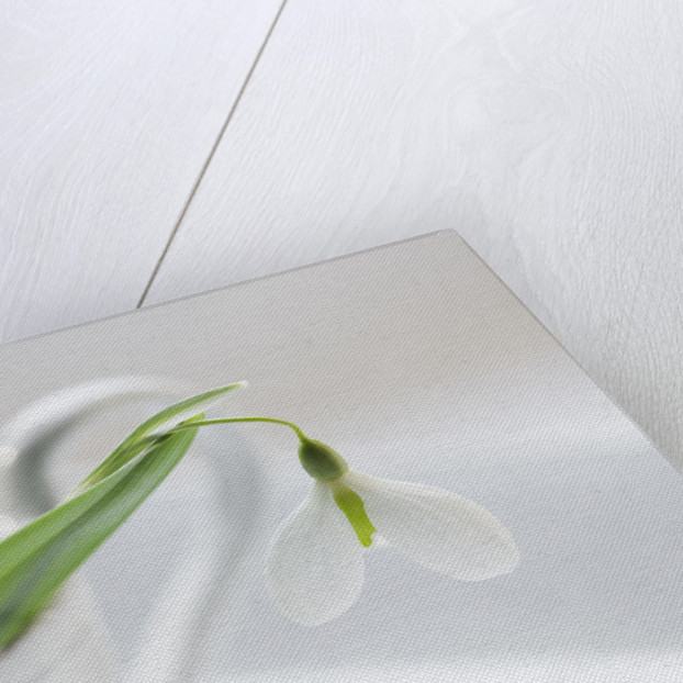 Close Up Of Snowdrop- Galanthus 'diggory' In White Jug/container : Styling By Jacky Hobbs by Clive Nichols