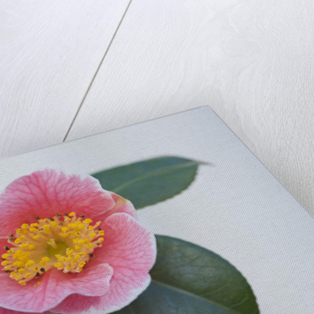 Trehane Nursery, Dorset: Close Up Of The Pink Flower Of Camellia Japonica 'adelina Patti' by Clive Nichols