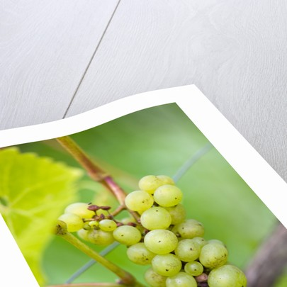 Sunnybank Vine Nursery, Herefordshire: Close Up Of The Grapes Of Vitis Vinifera 'seyval Blanc' by Clive Nichols