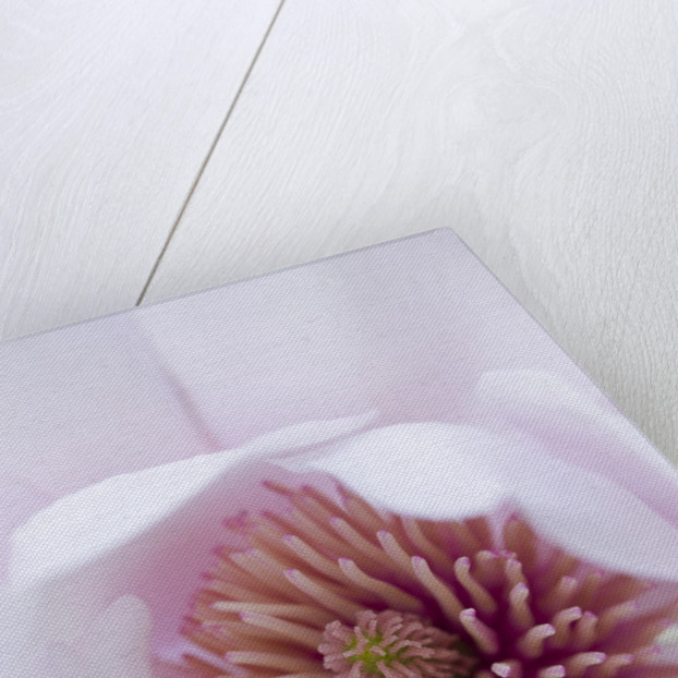 Marwood Hill, Devon: Close Up Of The Centre Of Magnolia 'mark Jury' by Clive Nichols