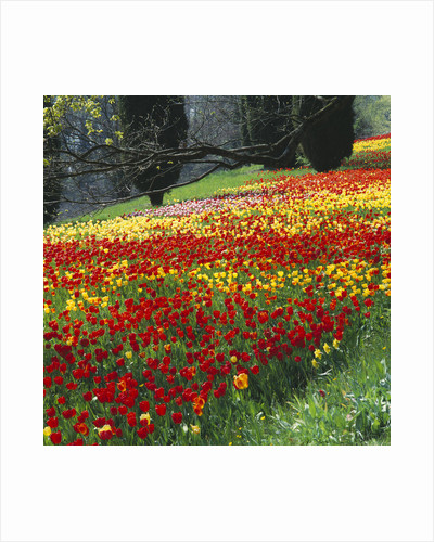 Colourful Drifts Of Red, Yellow And Pink Tulips In The Gardens Of Mainau, Lake Constance. by Clive Nichols