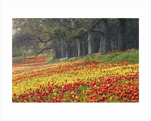 Colourful Drifts Of Red & Yellow Tulips Along The Tulip Walk In The Gardens Of Mainau, Lake Constance by Clive Nichols