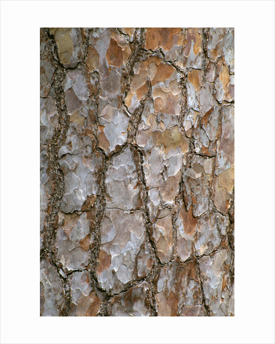 Arley Arboretum, Worcestershire: Close Up Of Bark Of Pinus Sylvestris ( Scots Pine) by Clive Nichols