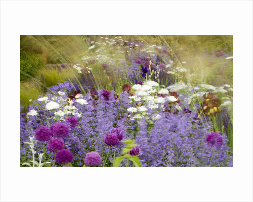 Chelsea Flower Show 2006: Daily Telegraph Garden Designed By Tom Stuart-smith: Wind Blown Stipa Gigantea, Irises, Allium 'purple Sensation' And Orlaya Grandiflora by Clive Nichols