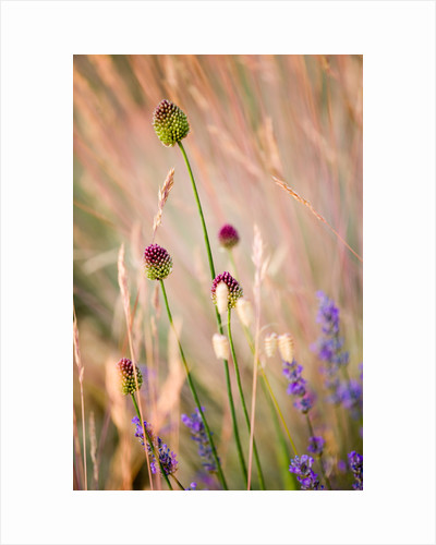 Allium sphaerocephalon in front of Festuca glauca seeigal by Clive Nichols