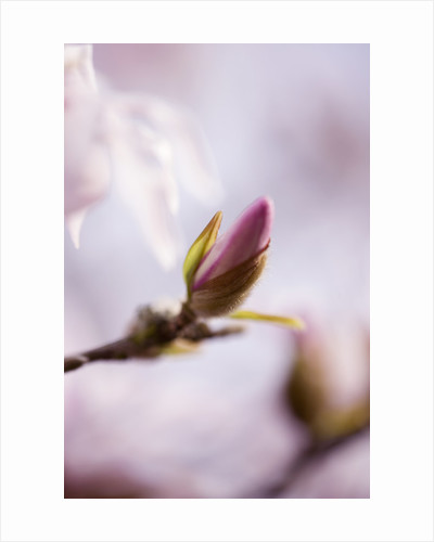 Emerging Bud Of Magnolia Stellata Rosea. Close Up, March, Spring, Pale Pink, Fragrant, Fragrance by Clive Nichols