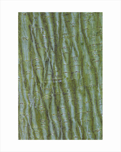 Bodenham Arboretum, Worcestershire: Close Up Abstract Image Of The Bark Of Acer Davidii by Clive Nichols
