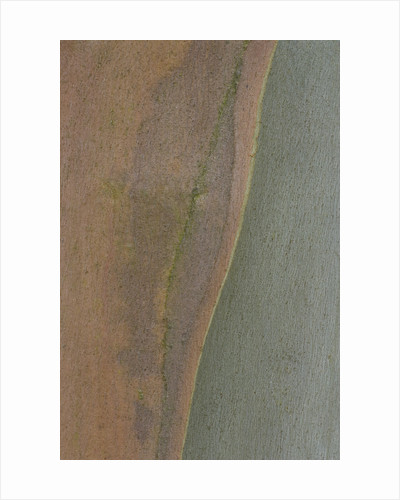 Bodenham Arboretum, Worcestershire: Abstract Close Up Of Bark Of Eucalyptus Niphophilla by Clive Nichols
