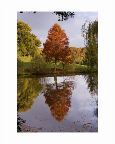 Bodenham Arboretum, Worcestershire: Autumn Colours Of A Swamp Cypress (taxodium Distichum) Seen Reflected In Water - Across The Bottom Pool by Clive Nichols