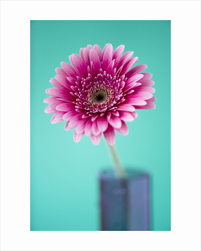 Close Up Of Brilliant Pink Gerbera In Blue Jar Against Pale Blue Background by Clive Nichols