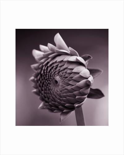Duotone image of dahlia 'Jayne stonestreet' by Clive Nichols
