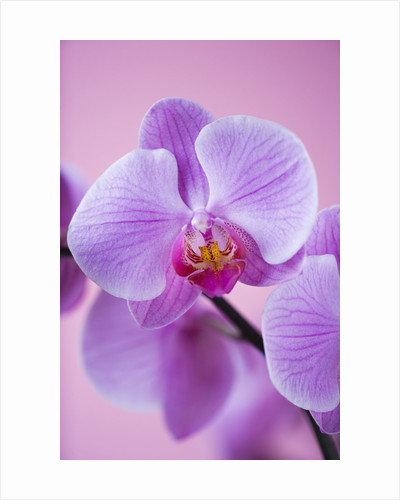 A Pink Phalaeonopsis Orchid Against A Pink Background by Clive Nichols