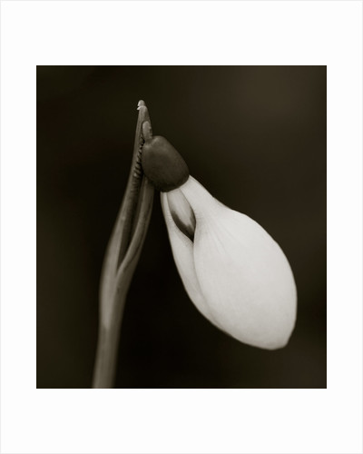 Cerney House Garden, Gloucestershire: Black And White Duotone Image Of Galanthus 'little John' by Clive Nichols