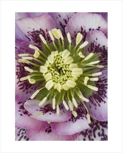 Close Up Of The Centre Of A Pink Hellebore - Helleborus V Hybridus 'ashwood Garden Hybrids' by Clive Nichols