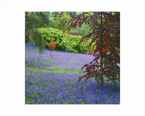 Bluebells And Brilliant Orange Ghent Azaleas In The Dell Garden At Duckyls, Sussex by Clive Nichols