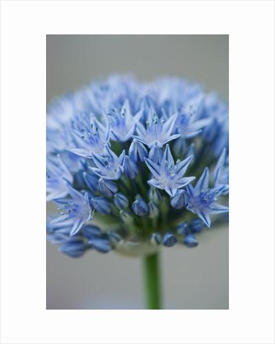 Allium con vallarioides by Clive Nichols