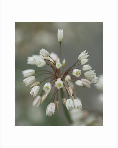 White allium by Clive Nichols