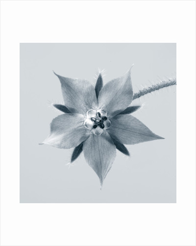 Black And White Duotone Close Up Of Flower Of Borage (borago Officinalis) by Clive Nichols