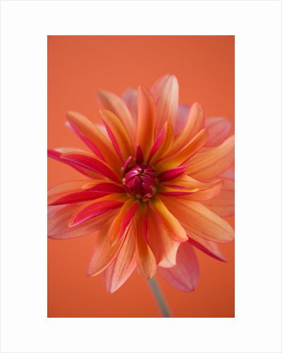 Close up of orange dahlia by Clive Nichols