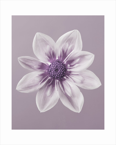 Duotone image of dahlia by Clive Nichols