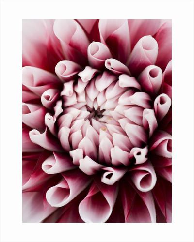 Dahlia 'Tiptoe' by Clive Nichols