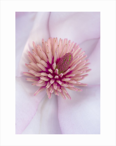 Close Up Of The Centre Of The Pink Flower Of Magnolia Cylindrica X M Campbellii Darjeeling. Spring, Rhs Garden, Wisley by Clive Nichols