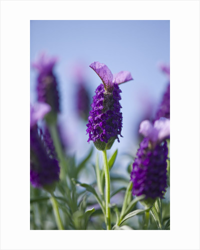 Close Up Of The Flower Of Lavandula Stoechas 'purple Wings' (lavender, Scented) by Clive Nichols