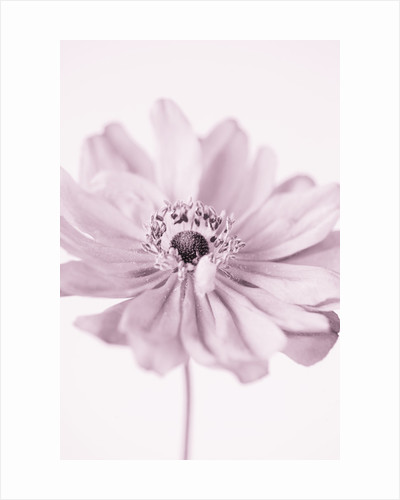Close Up Black And White Duotone Image Of The Pink Flower Of Anemone X Hybrida 'pamina', by Clive Nichols