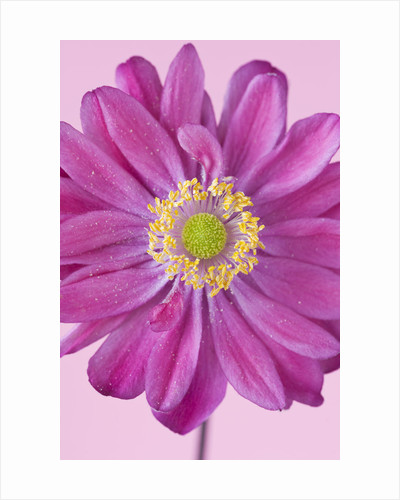 Close Up Of The Pink Flower Of A  Japanese Anemone - Anemone Hupehensis Var Japonica 'pamina' by Clive Nichols
