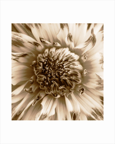 Sepia toned image of dahlia 'Mums lipstick' by Clive Nichols