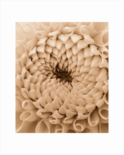 Sepia toned image of dahlia 'Lemon zing' by Clive Nichols