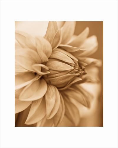 Sepia tone image of dahlia 'David howard' by Clive Nichols
