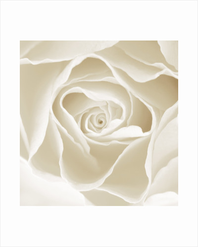 Black And White Sepia Tone Close Up Of Centre Of Rose. Rosa. Abstract.pattern.nature. by Clive Nichols
