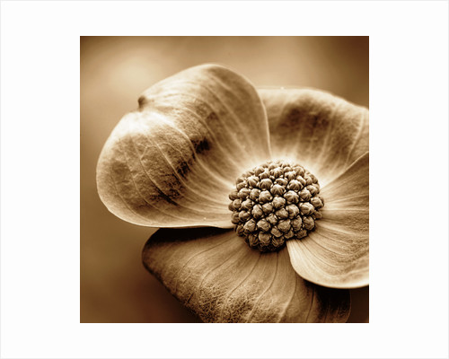 Black And White Sepia Toned Close Up Of Centre Of Cornus 'eddie's White Wonder'. Abstract.pattern.nature. by Clive Nichols