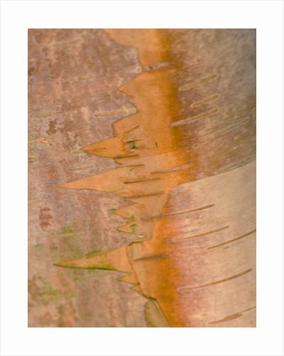 Close Up Of The Trunk/ Bark Of Betula Albosinensis Var Septronalis - Cambridge Botanic Garden by Clive Nichols