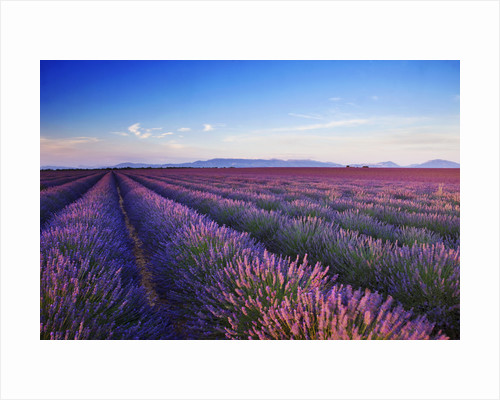 Field of purple lavender near Valensole, Provence by Clive Nichols